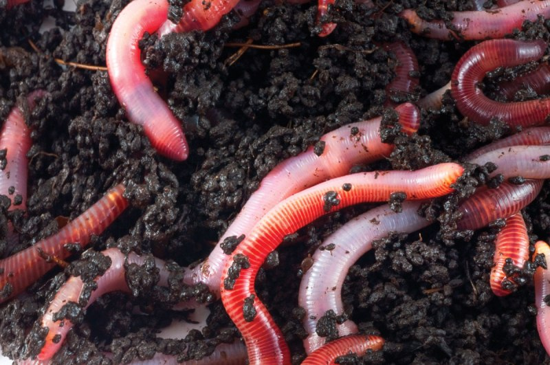worms vermicomposting1