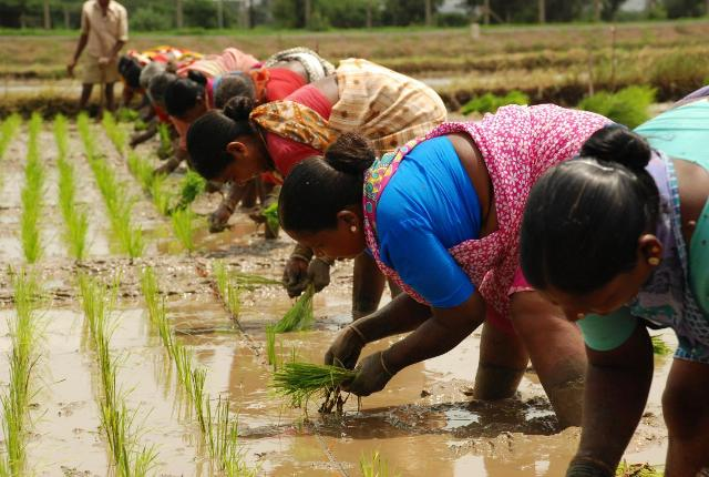 rice-sowing