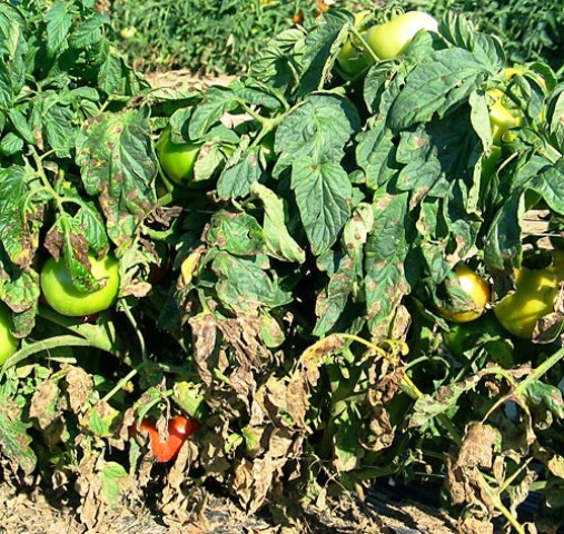 PROTECTED CULTIVATION OF TOMATO