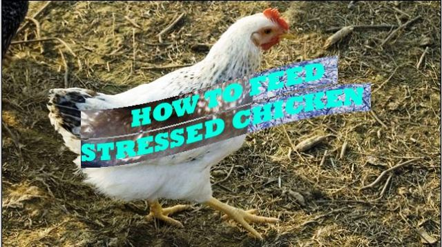 Follow this, If your CHICKENS are Losing WEIGHT