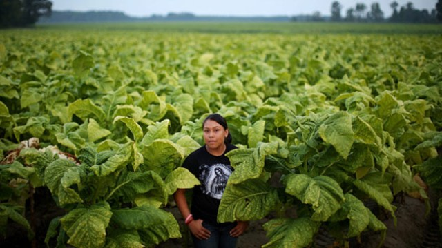 tobacco production india
