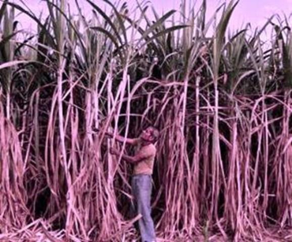 sugar Farmers