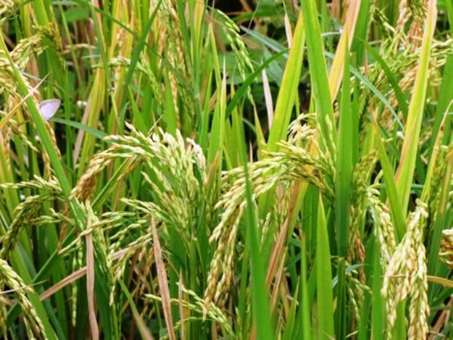 karif crop