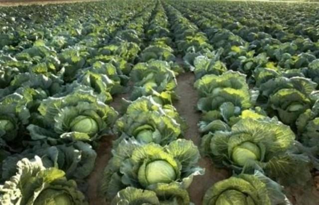 cabbage farming