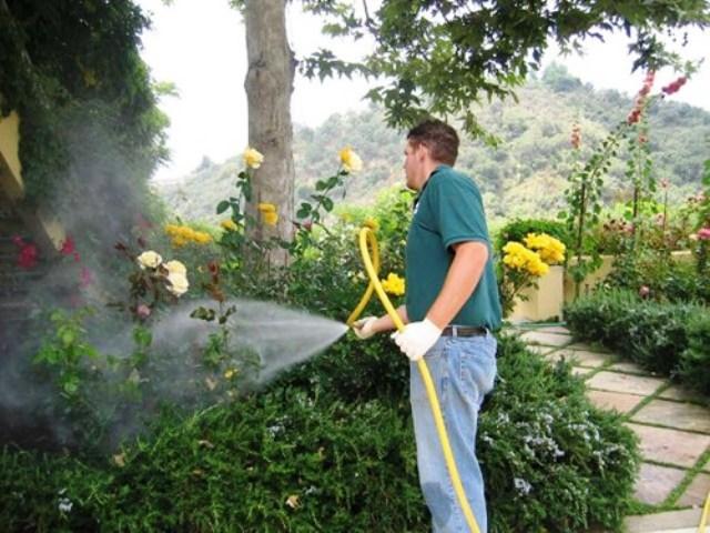 Spraying Rose plant dise