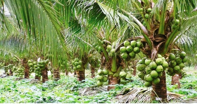 Can coconut improve rural economy?