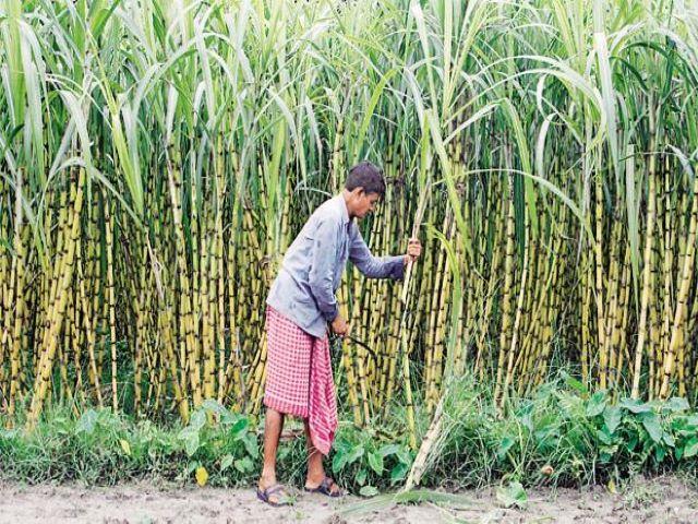 Sugar cane Kzlc
