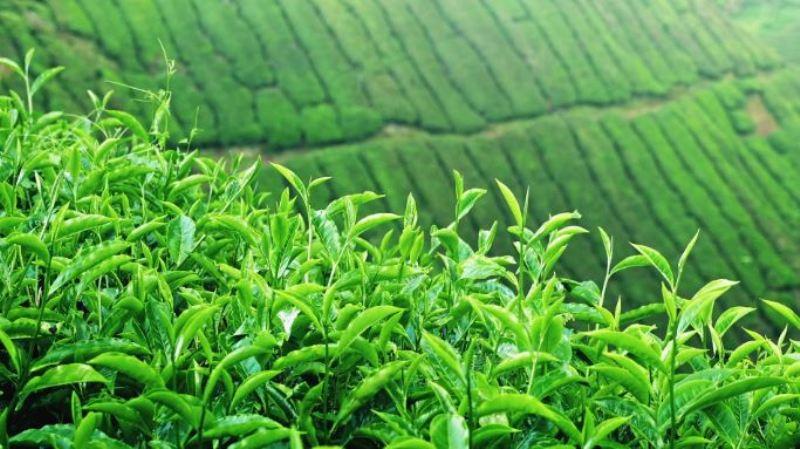tea price