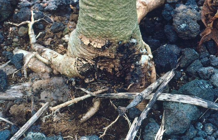 Management Of Papaya Stem Rot Foot Rot