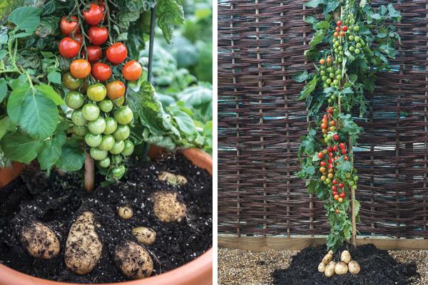 how to make a pomato plant