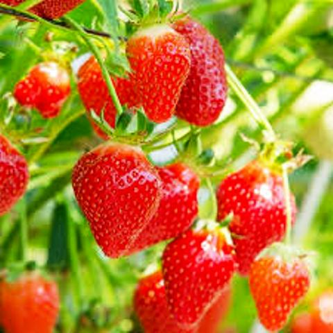 Shelf Life of Strawberries