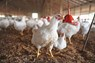 Zero Cost Poultry: Get Egg Free of Cost With Milk and Meat