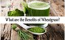 Wheatgrass Benefits: Here's Why You Must Drink Wheatgrass Juice Daily