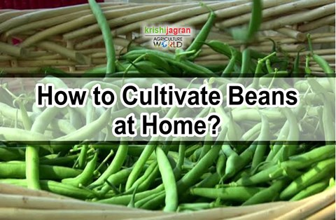 Beans Cultivation Guide: Know the Planting, Growing, Harvesting and Varieties of this Winter Vegetable