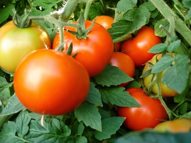 19 Kg FROM 1 TOMATO PLANT : Wonder Variety