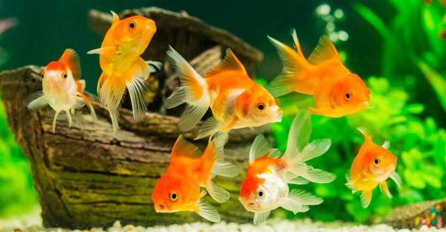 Income Generation By Ornamental Fish Culture
