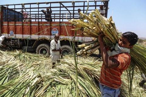 Sugar Production in India till February Declines 22 Percent
