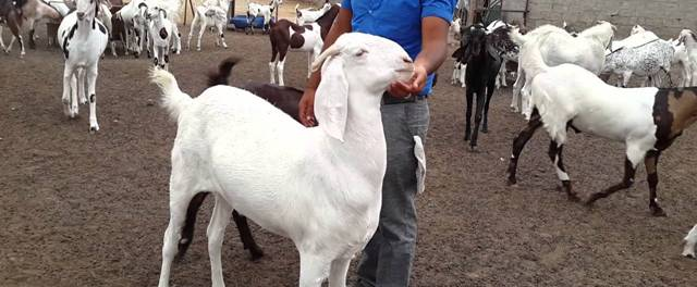 Farmer Earning Lakhs of Profit, With Goat based Agri-business