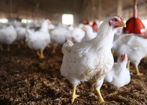 Association of COVID-19 with Domestic Poultry – a Myth: GADVASU Experts