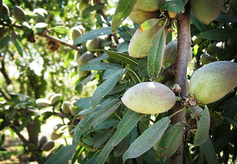 Know How to Grow Almonds in Your Garden