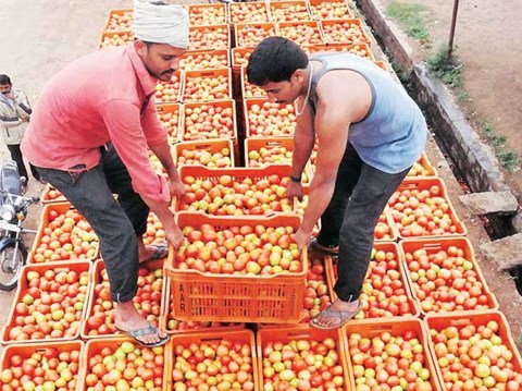 Agriculture Ministry is Taking Quick Action to Help Tomato Farmers