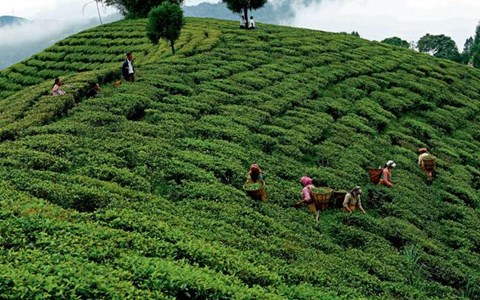 Kochi Tea Trade Association to Reopen Warehouses from 30th March amid Lockdown