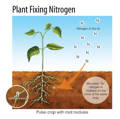 How to Add Nitrogen to the Soil and Make it More Fertile for Crops