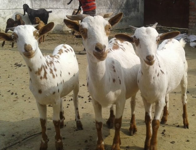 How This Breed Of Goat Made The Farmer Rich