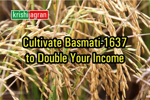 This High Yielding Variety of Basmati Rice Gives Bumper Yield of 22 to 25 Quintals Per Acre