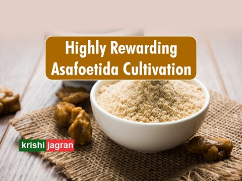 Asafoetida Cultivation: This State to Cultivate Hing worth Rs 40,000 per kg for the First Time