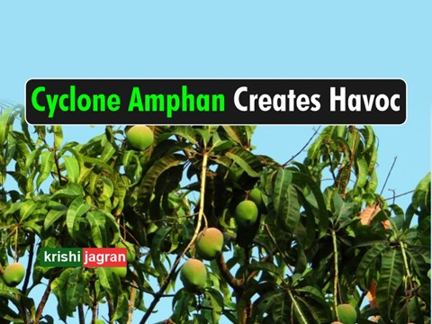 Cyclone Amphan: Mango Farms Destroyed in These States of India