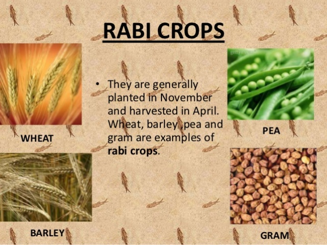 Five examples of rabi crops brainly. In.