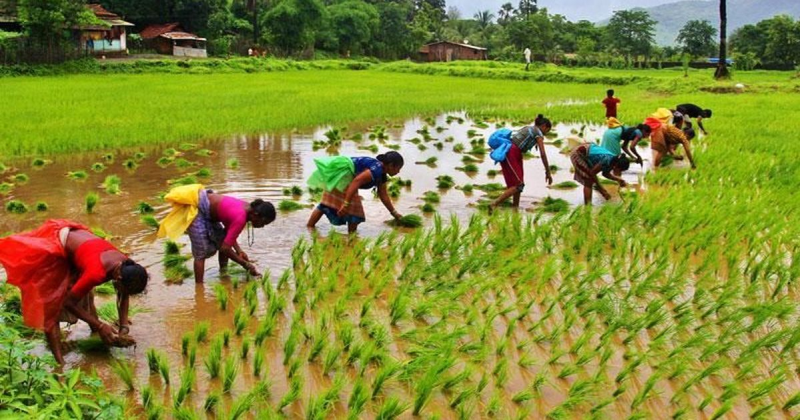 First Advance Kharif Crops Production Estimate 2020-21 Released; Rice Output Estimated at Record 102.36 mt