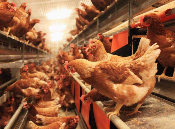 Least investments, Most Profits: POULTRY