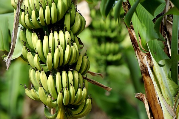 Govt. indentified States, Suitable for Sugarcane | Banana