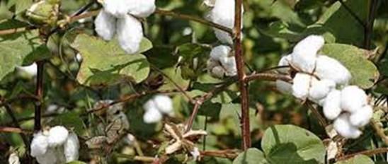 cotton plantation in india