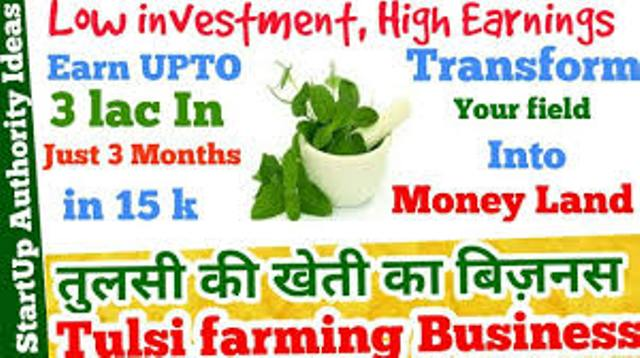 Earn 3 lakh in three months by Tulsi farming