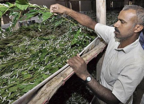 21% more productive Silkworm, assures Double income for farmers