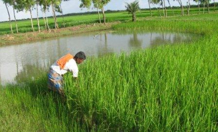 Guide for RICE-cum-FISH FARMING