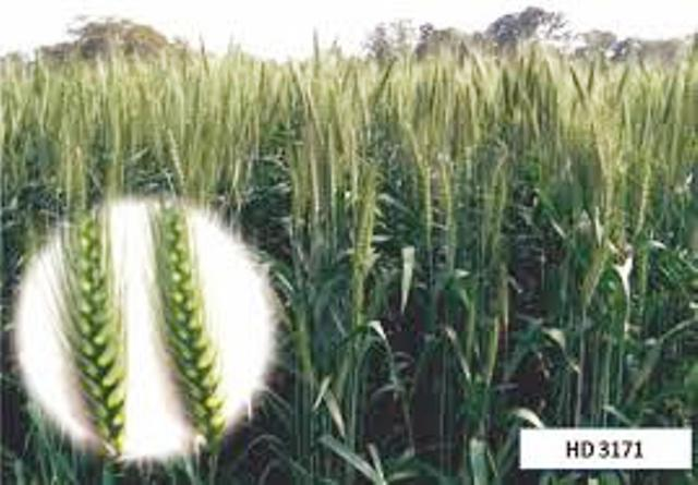 Top varieties of wheat for this rabi season
