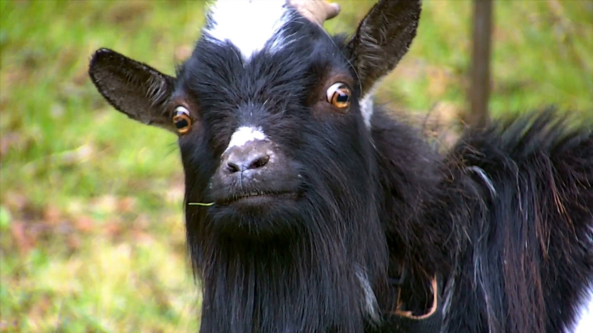 Artificial Insemination in Bengal goats to conserve valuable goat