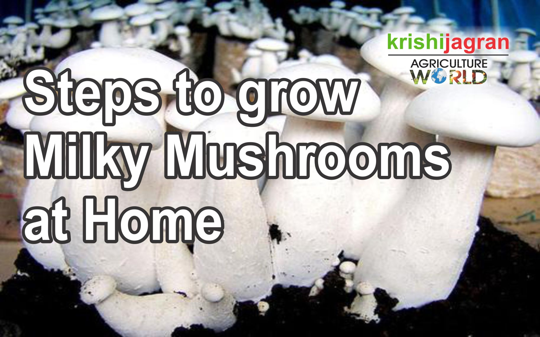 Steps to grow Milky Mushrooms at Home