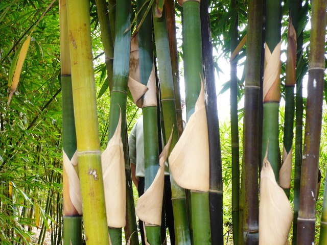 A complete guide to Bamboo Cultivation